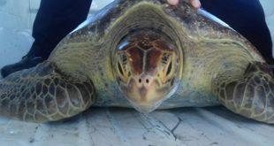 En Aragua detienen a un hombre por posesión ilegal de tortugas